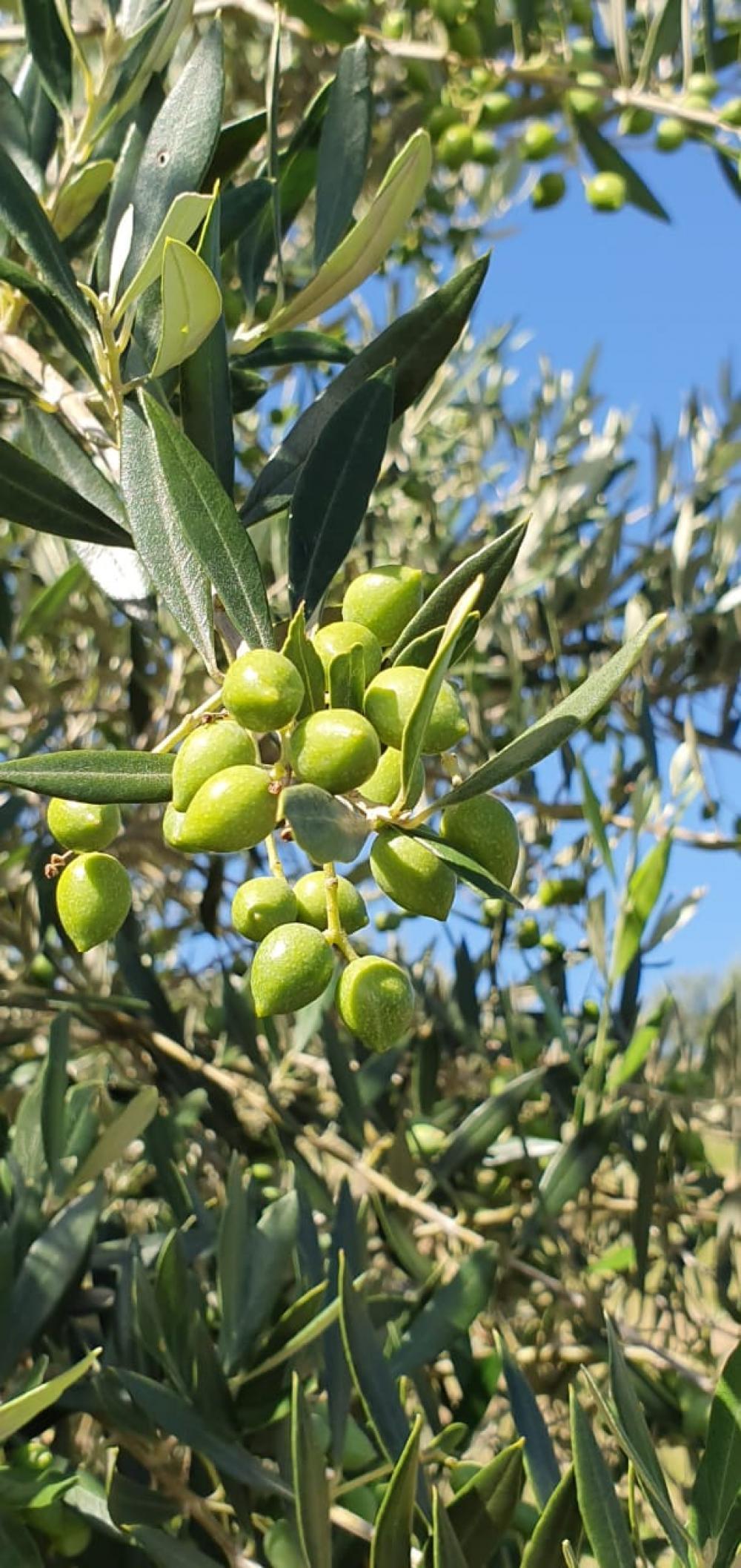 Início da colheita de azeitonas será antecipado