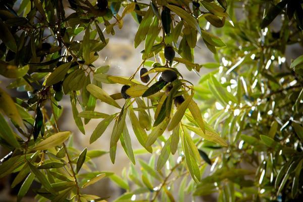 Ministério Público solicita dados ao Ibraoliva sobre deriva do herbicida 2,4-D