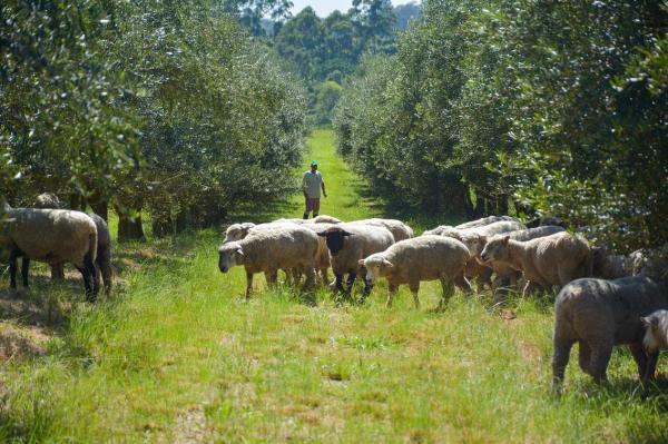 Consórcio entre olivicultura e ovinos é destaque na imprensa