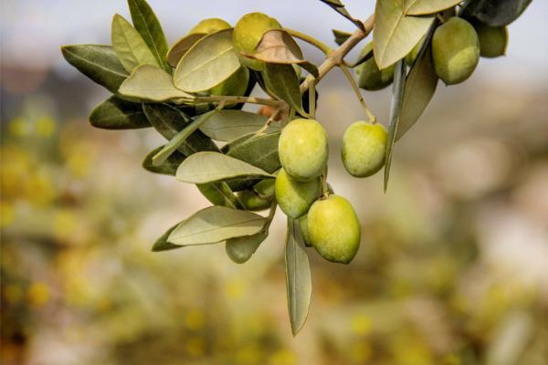 O IBRAOLIVA foi criado para juntarmos forças na busca pela competitividade da olivicultura brasileira.